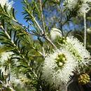 صورة <i>Melaleuca rhaphiophylla</i> Schau.