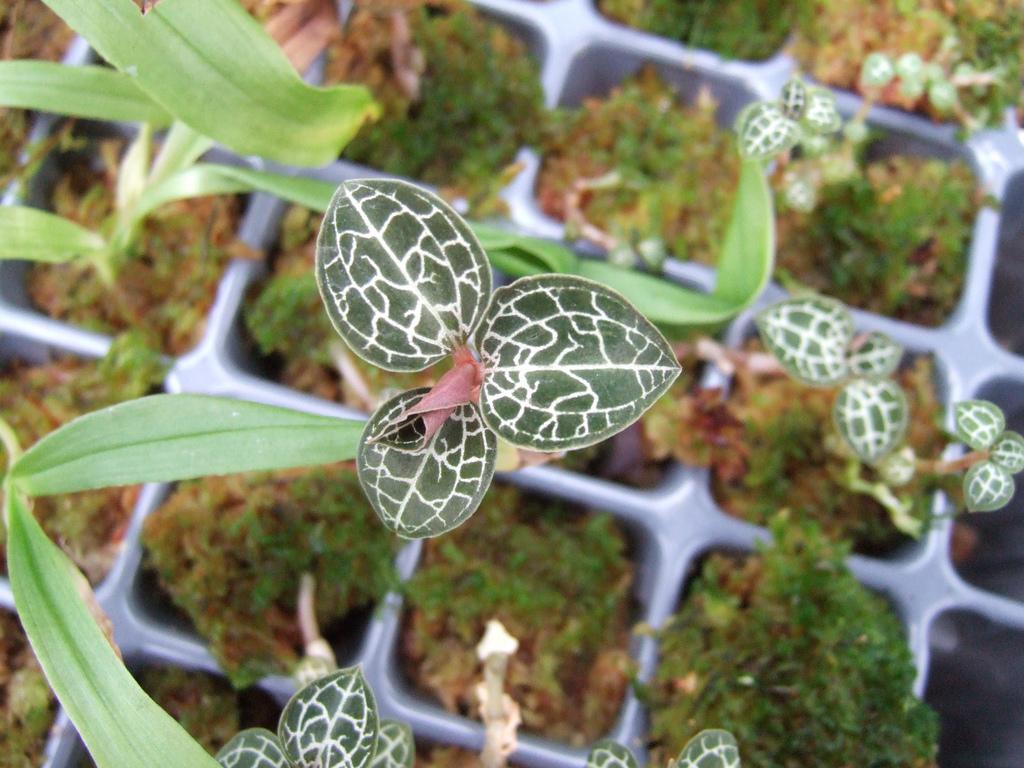 Image of <i>Anoectochilus brevilabris</i> Lindl.