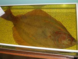 Image of Stone flounder