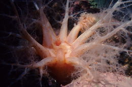 Image of fuzzy sea cucumber