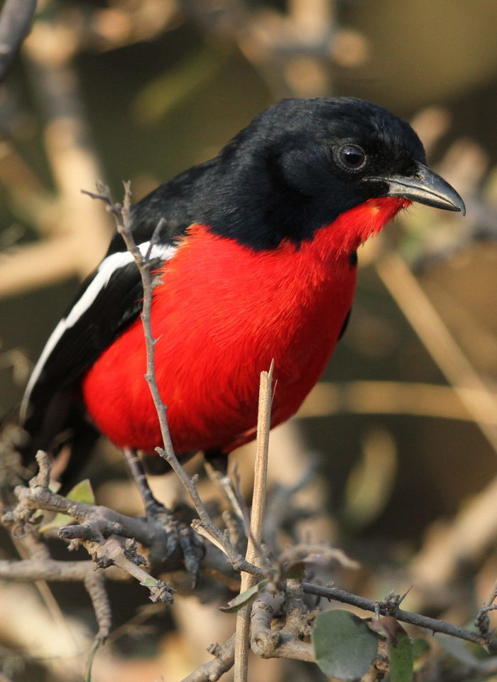 Image of Crimson-breasted Gonolek