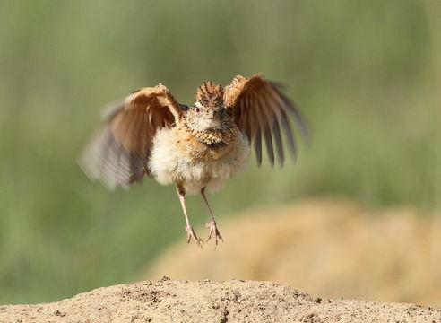Image of Rufous-naped Lark