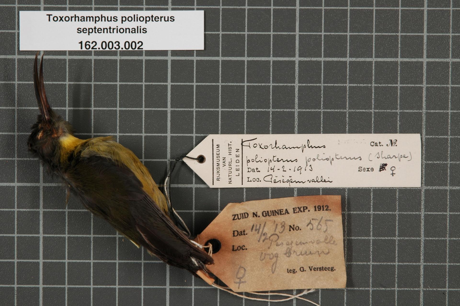 Image of Grey-winged Longbill