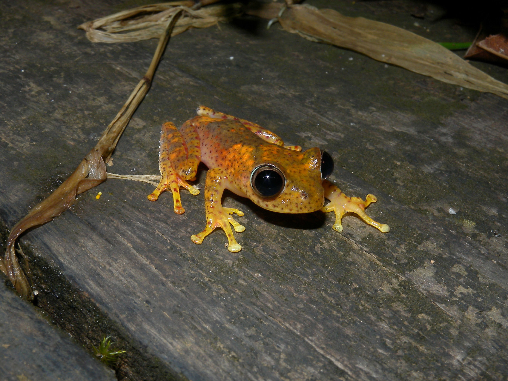 Image of <i>Boophis pyrrhus</i> Glaw, Vences, Andreone & Vallan 2001
