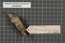Image of Dwarf Longbill
