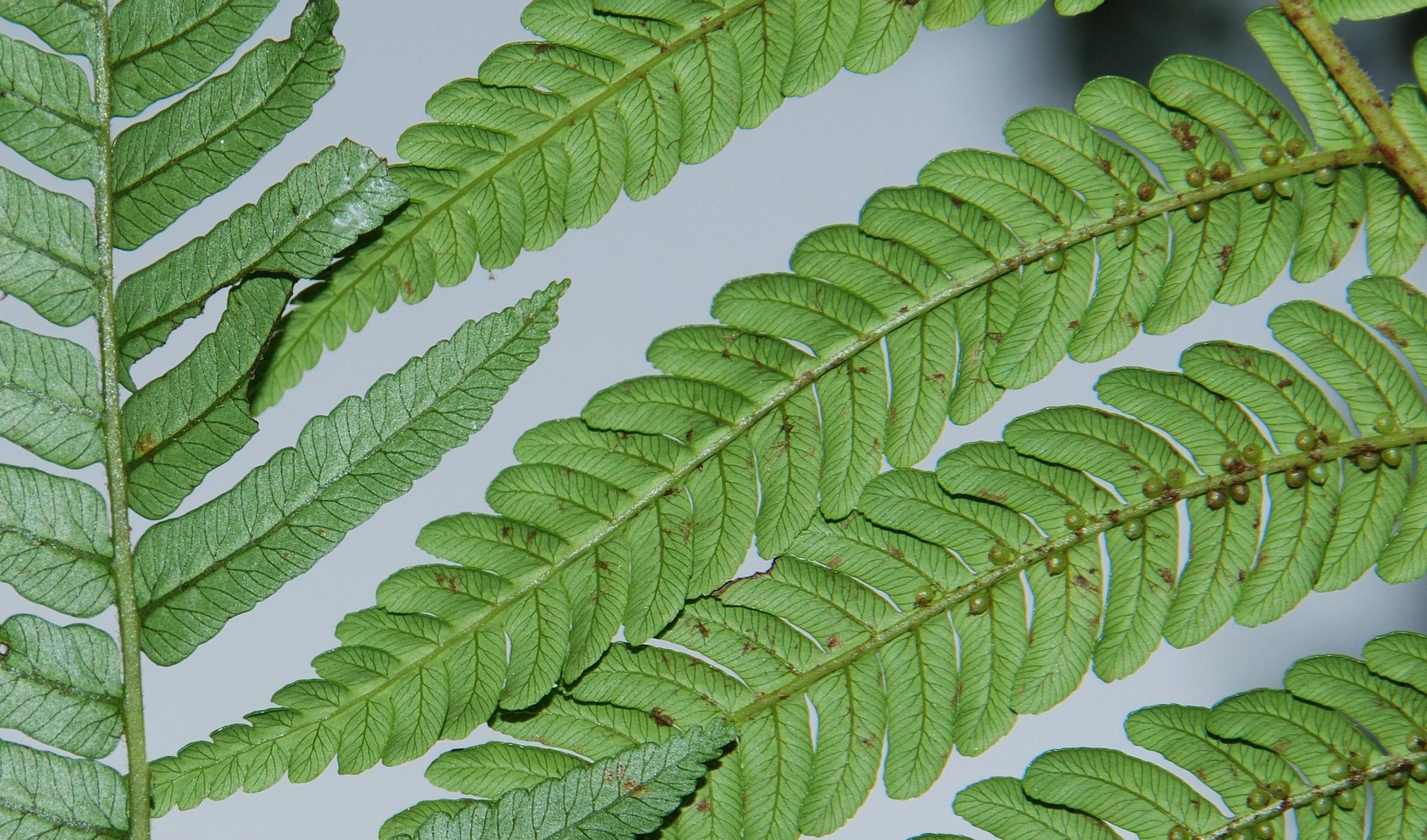 Image of <i>Alsophila borbonica</i> var. <i>latifolia</i> (Hook.) J. P. Roux