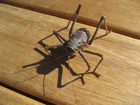 Image of Long-legged Armoured Katydid