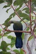 Image of Fischer's Turaco
