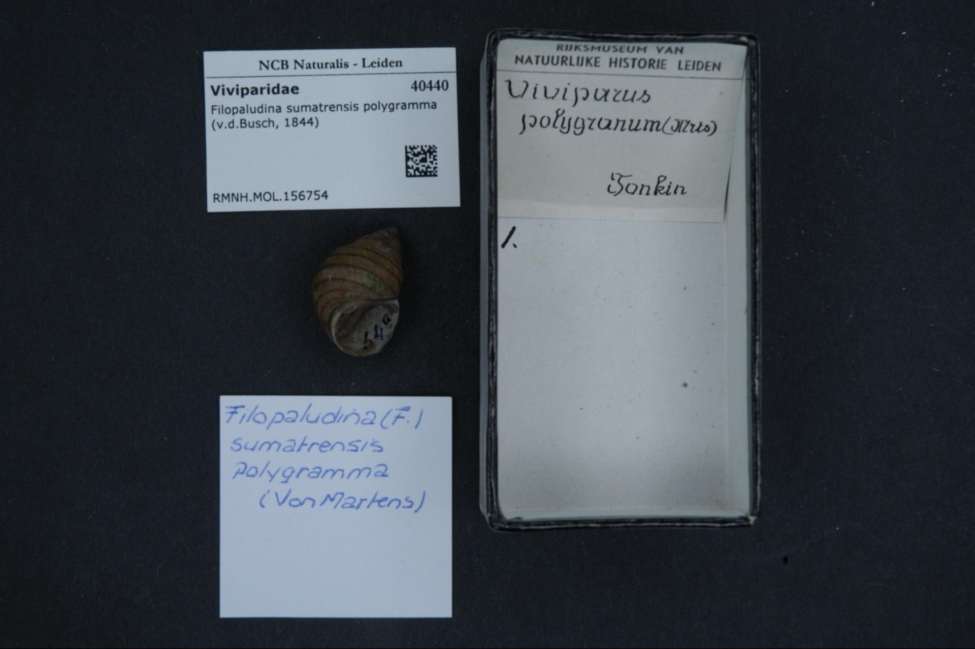 Image of <i>Filopaludina sumatrensis</i> (Dunker 1852)