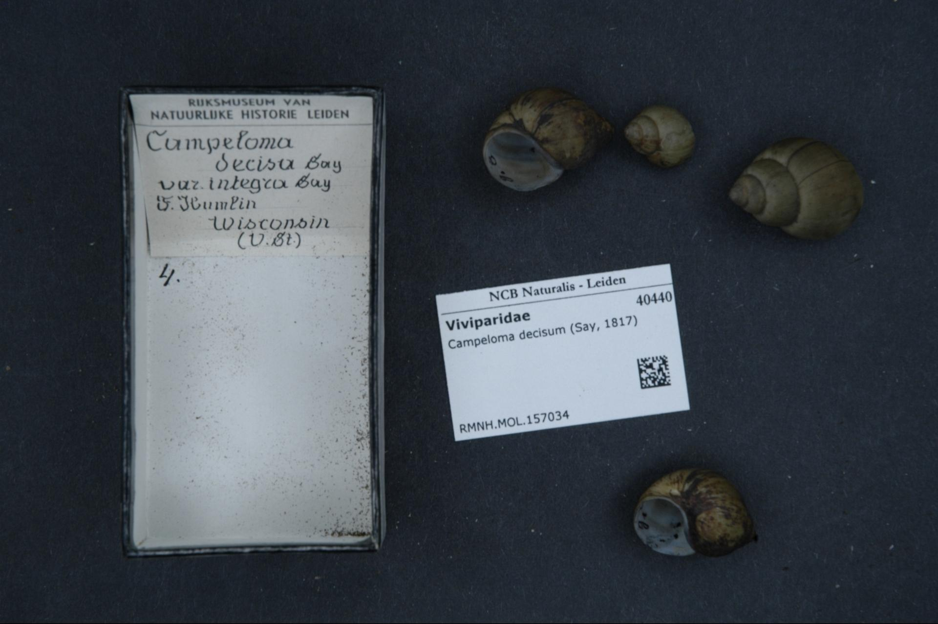 Image of <i>Campeloma decisum</i> (Say 1817)