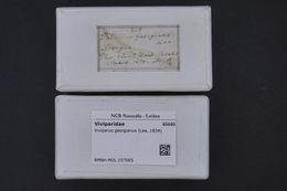 Image of <i>Viviparus georgianus</i> (Lea 1834)