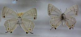 Image of <i>Favonius orientalis</i> (Murray 1875)