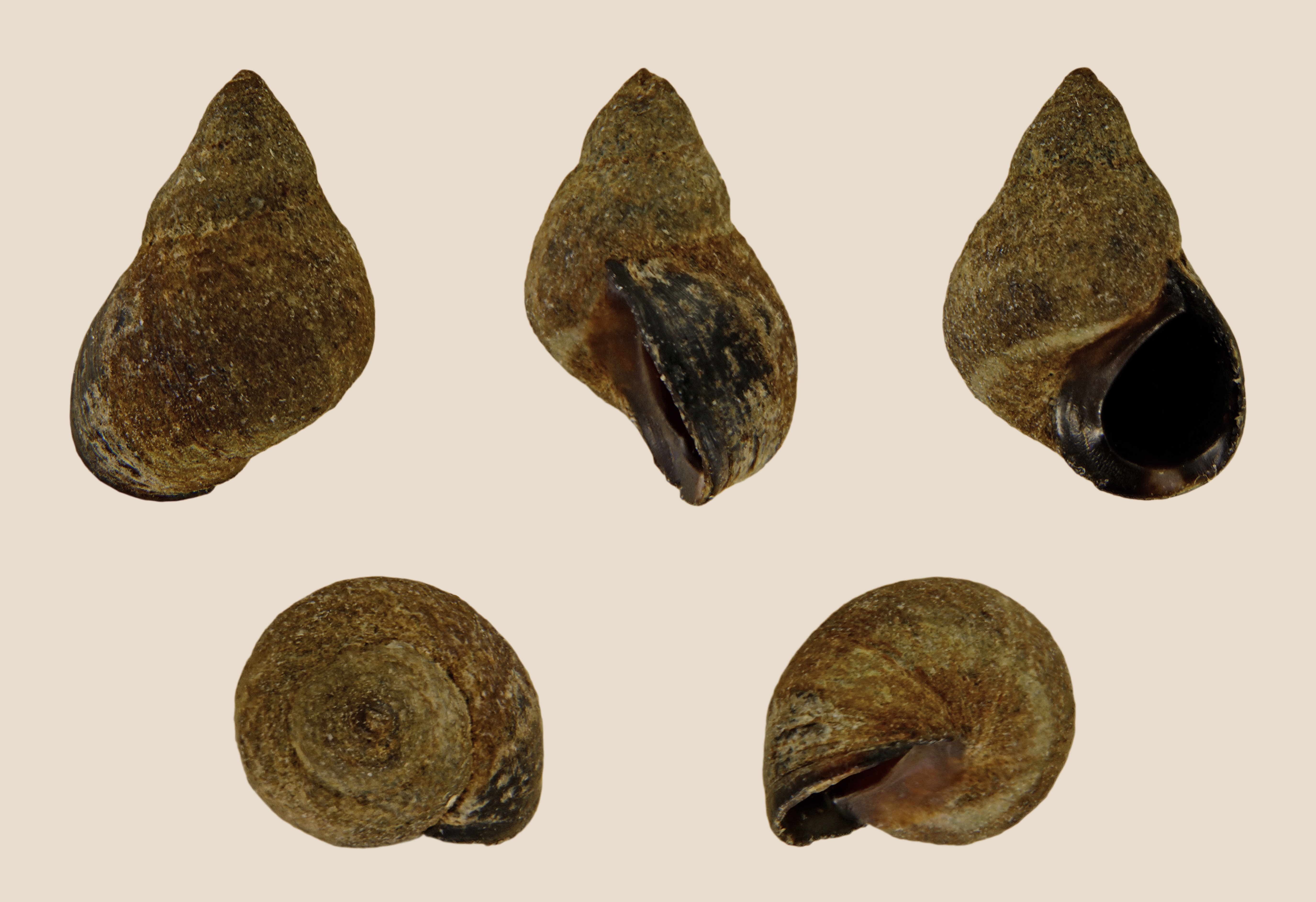 Image of small periwinkle