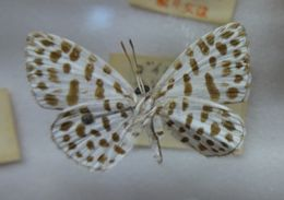 Image of Forest Pierrot