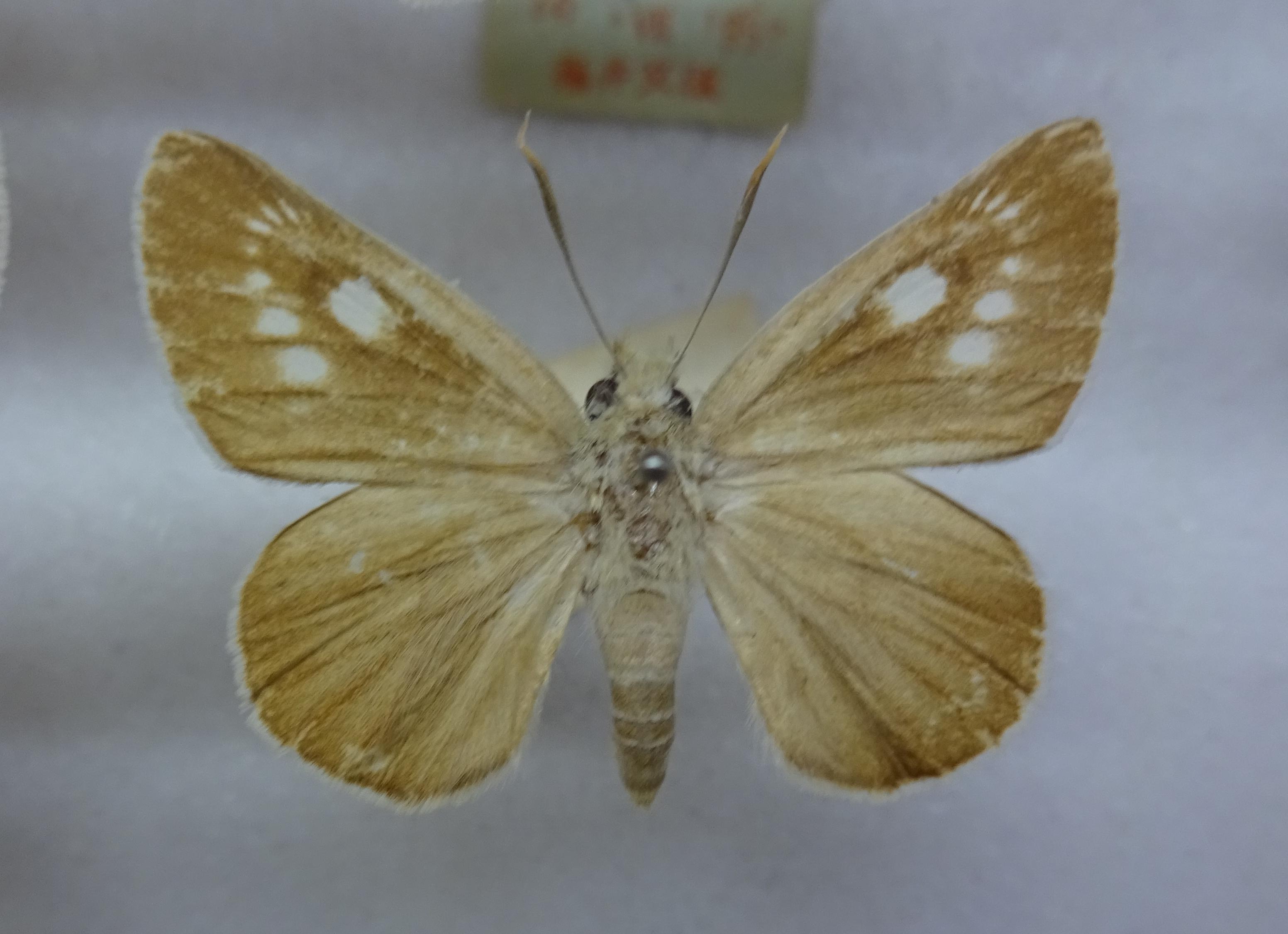Image of <i>Bibasis aquilina</i> Speyer 1879