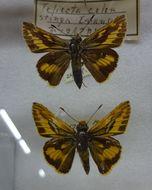 Image of <i>Telicota colon</i> Fabricius 1775