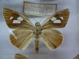 Image of <i>Erionota torus</i> Evans 1941