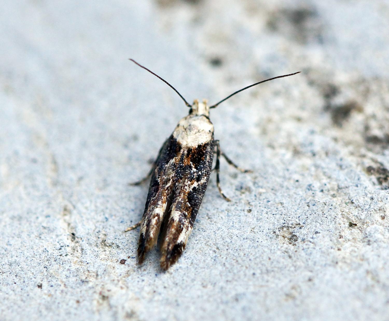 Image of <i>Mompha divisella</i>