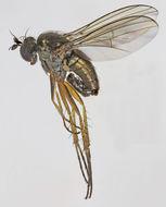 Image of <i>Gymnopternus aerosus</i>