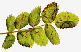 Image of <i>Stigmella spinosissimae</i> (Waters 1928) Beirne 1945