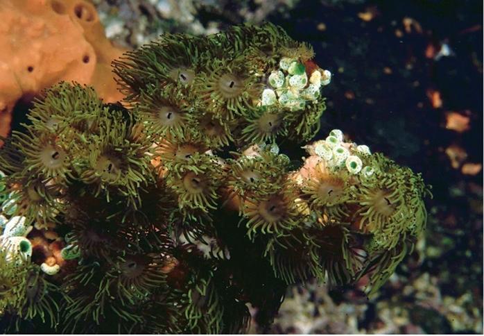 Image of Zoanthidae