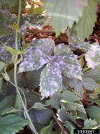 Image of Powdery mildew