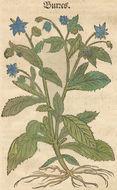 Image of common borage