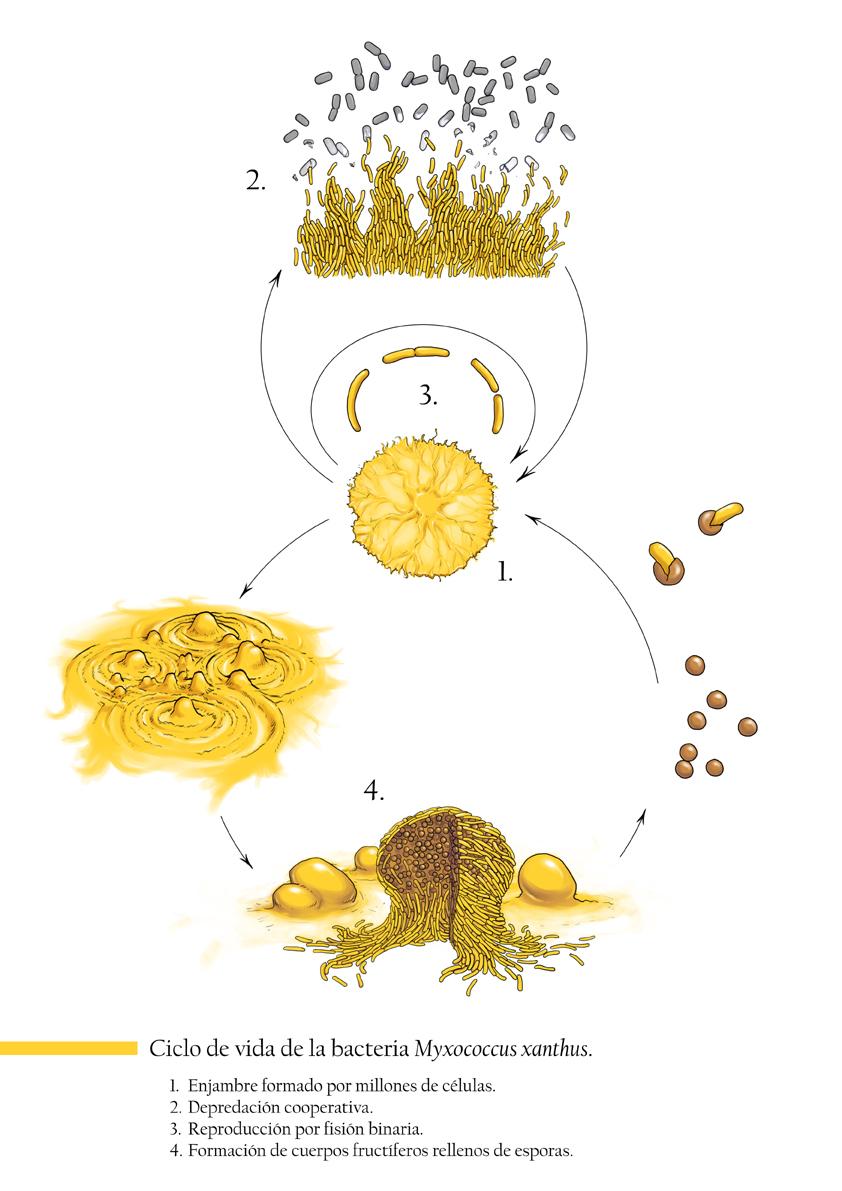 Image of <i>Myxococcus xanthus</i>