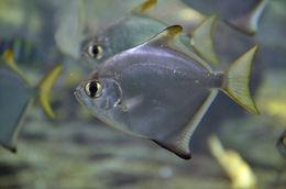Image of moonfishes