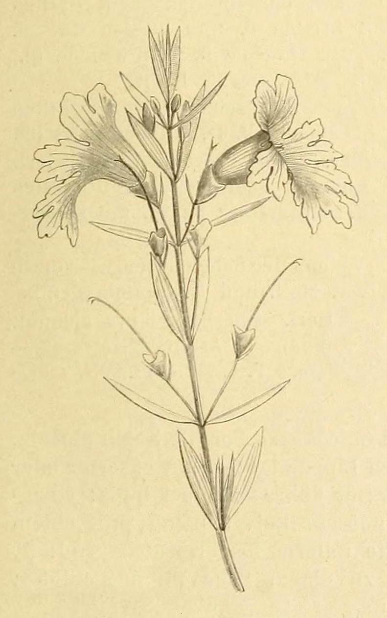 Image of <i>Hemiandra pungens</i> R. Br.