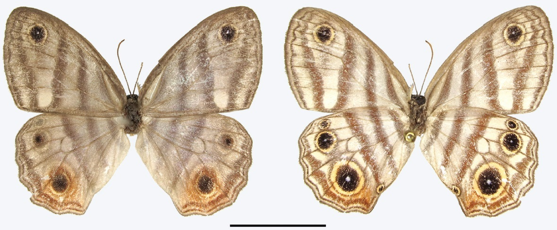 Image of Euptychia
