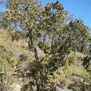 Image of <i>Planchonia careya</i> (F. Muell.) R. Knuth