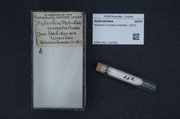 Image of <i>Ecrobia truncata</i> (Vanatta 1924)