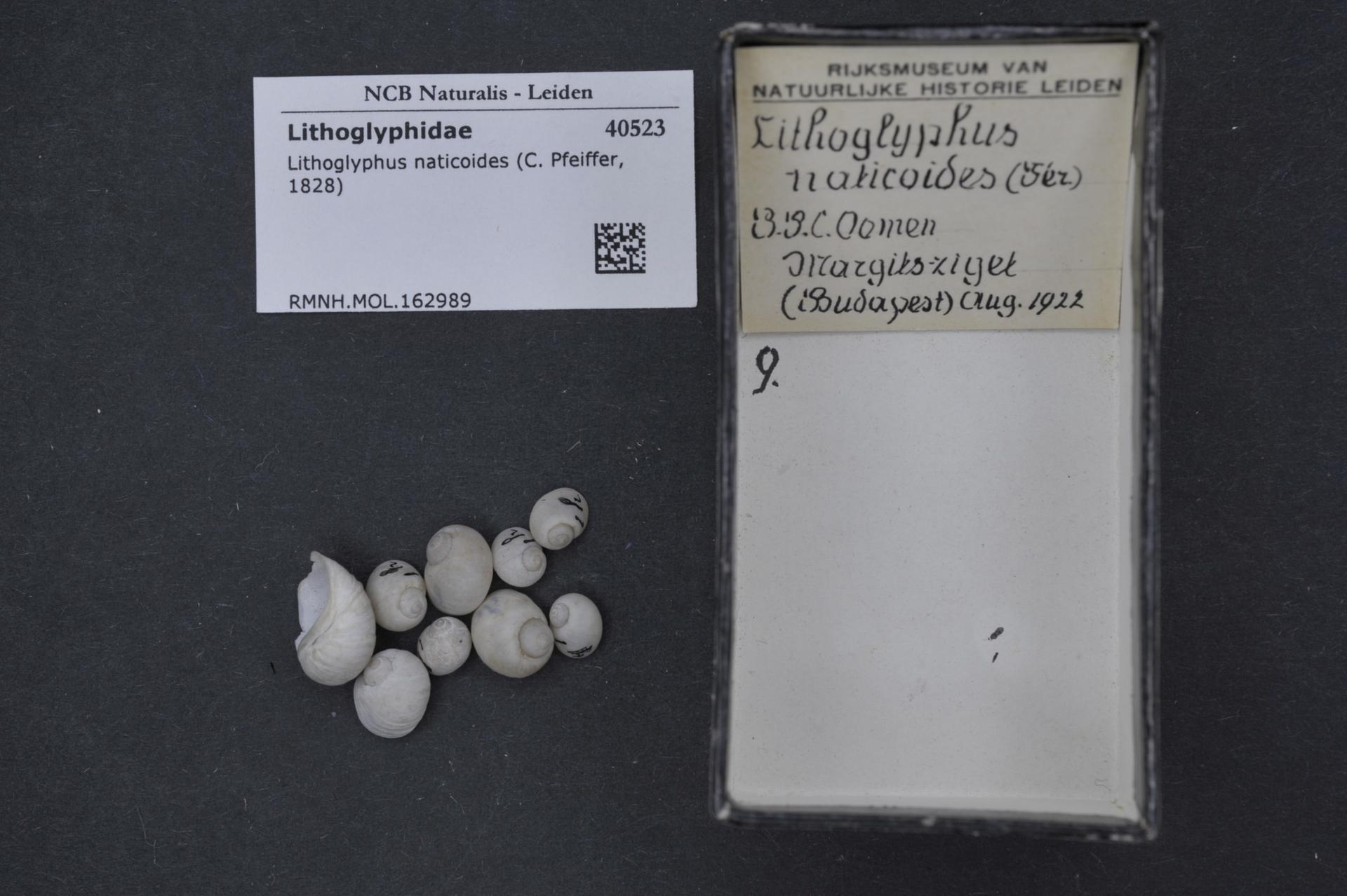 Image of <i>Lithoglyphus naticoides</i> (C. Pfeiffer 1828)