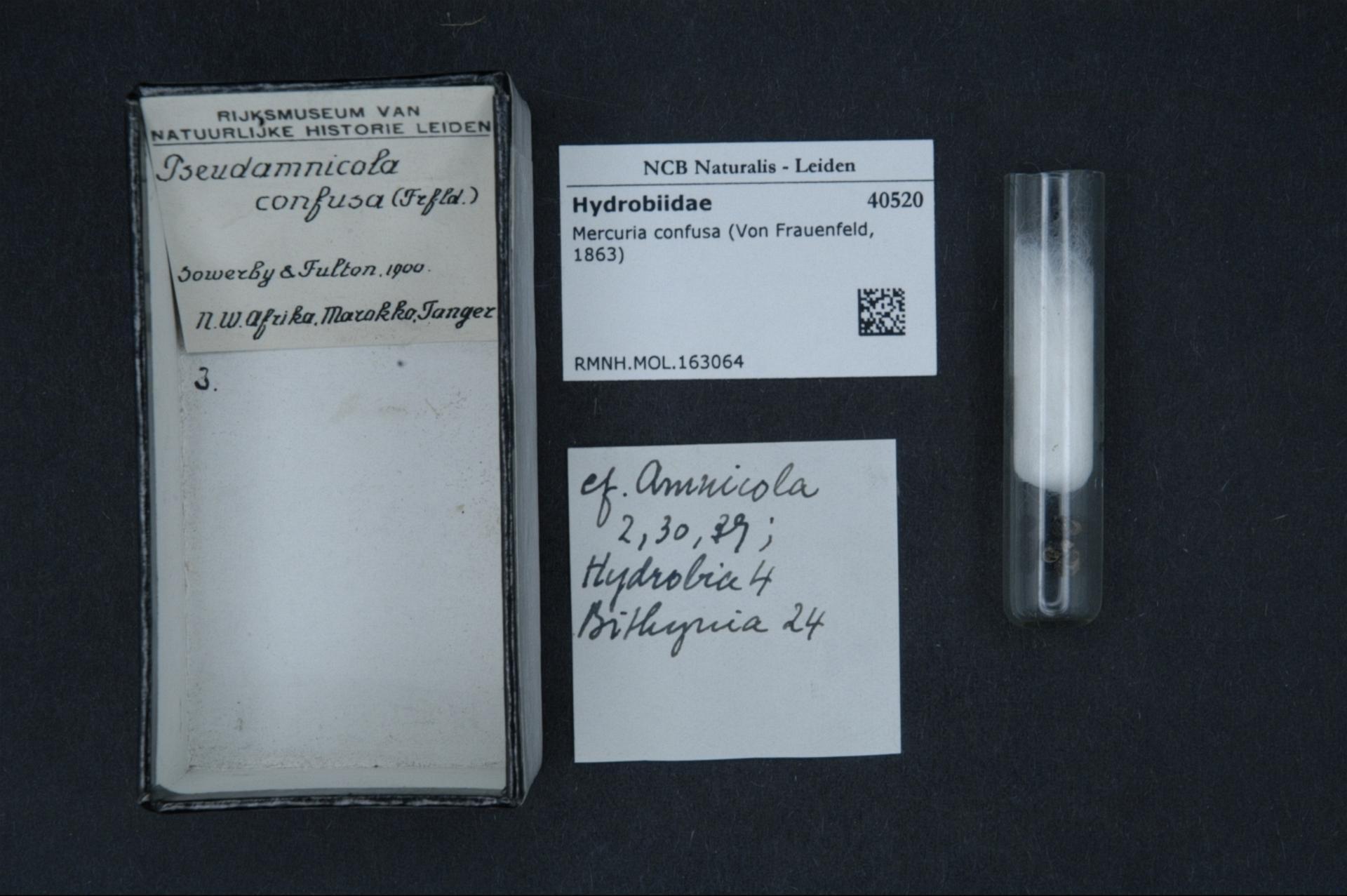 Image of <i>Mercuria confusa</i> (Frauenfeld 1863)