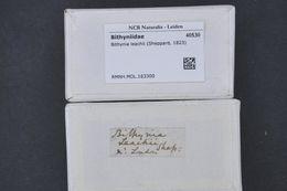 Image of Leach's bithynia