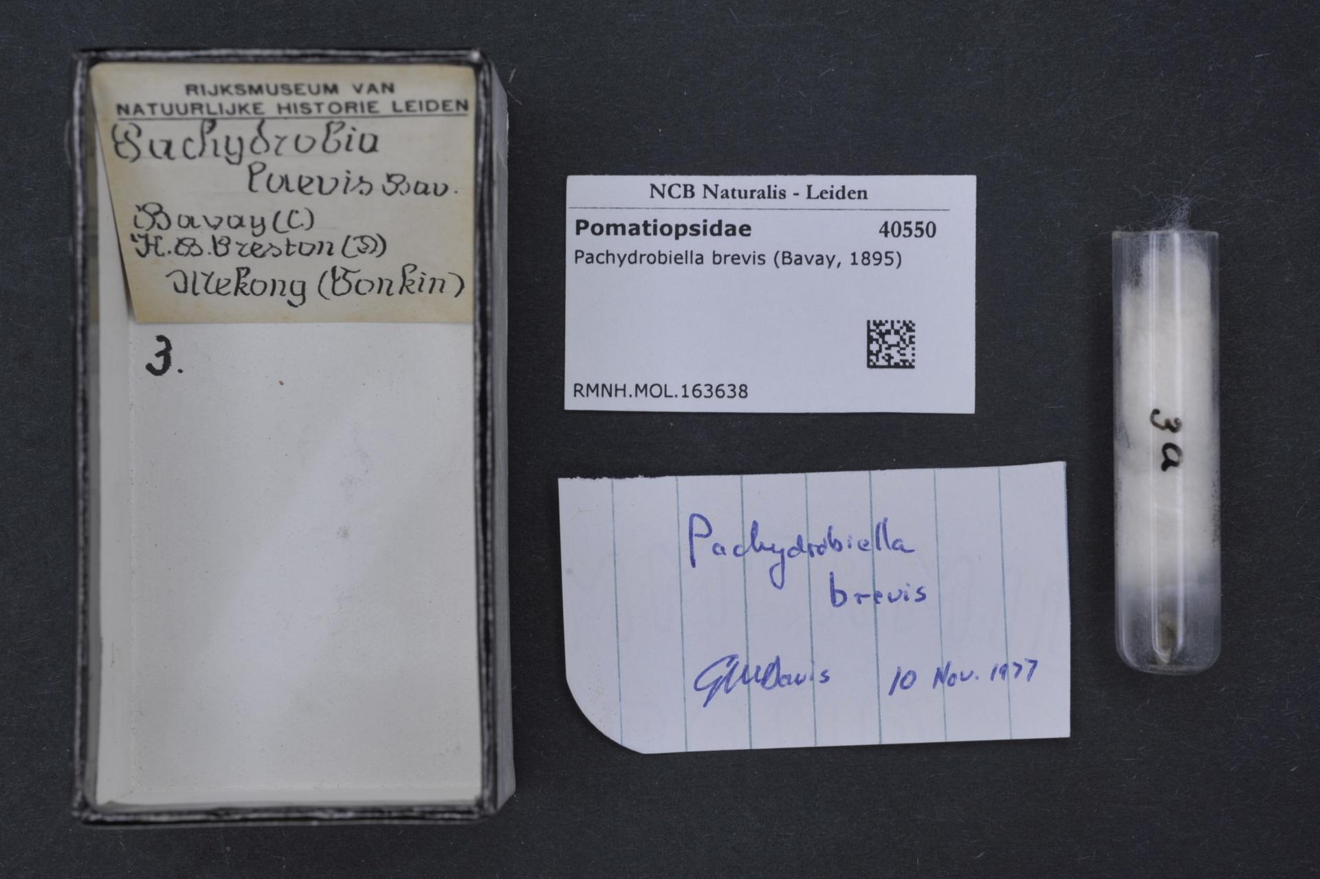 Image of <i>Pachydrobiella brevis</i> (Bavay 1896)