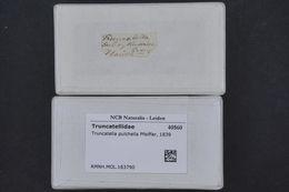Image of <i>Truncatella pulchella</i> Pfeiffer 1839