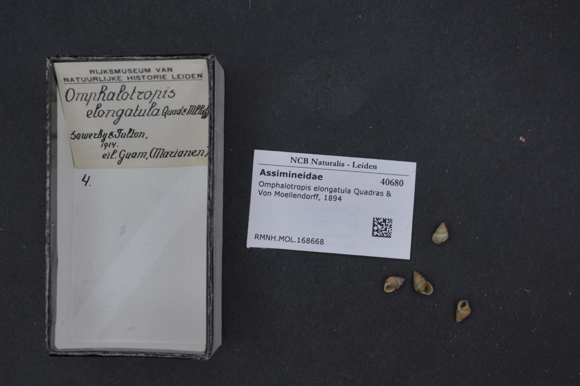 Image of <i>Omphalotropis elongatula</i> Quadras & Möllendorff 1894