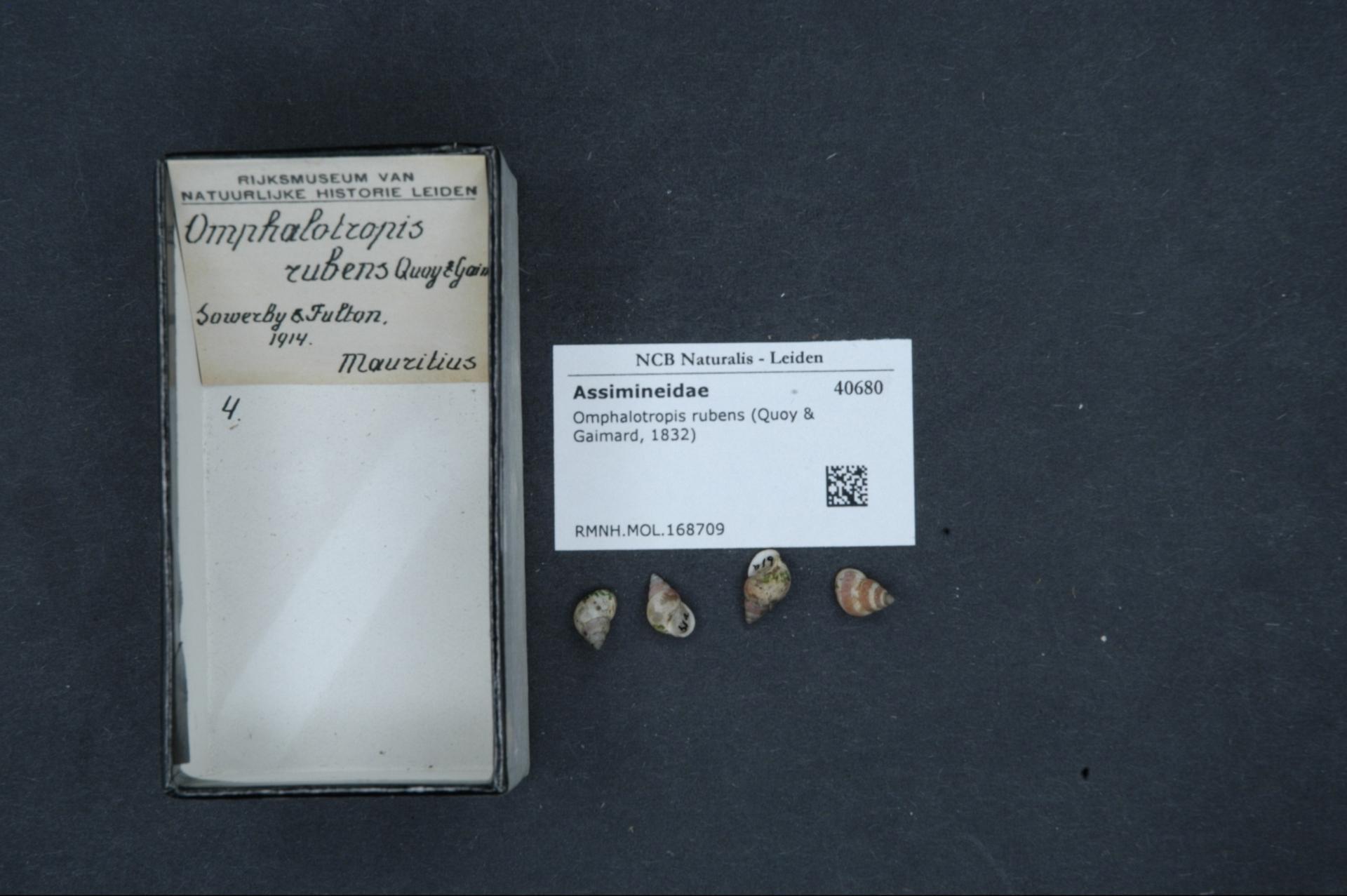 Image of <i>Omphalotropis rubens</i>
