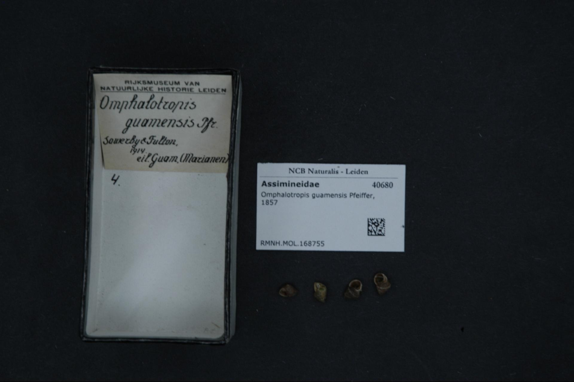 Image of <i>Omphalotropis guamensis</i> (Pfeiffer 1857)