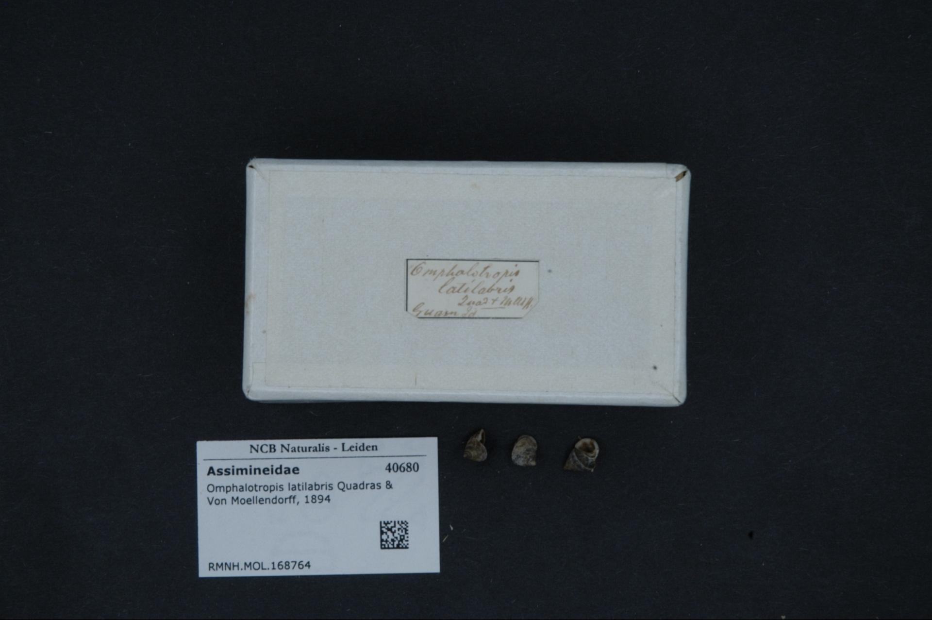 Image of <i>Omphalotropis latilabris</i> Quadras & Möllendorff 1894