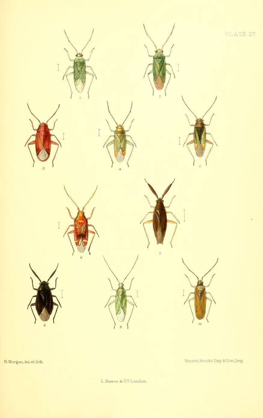 Image of Jumping tree bug