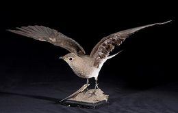 Image of Black-winged Pratincole