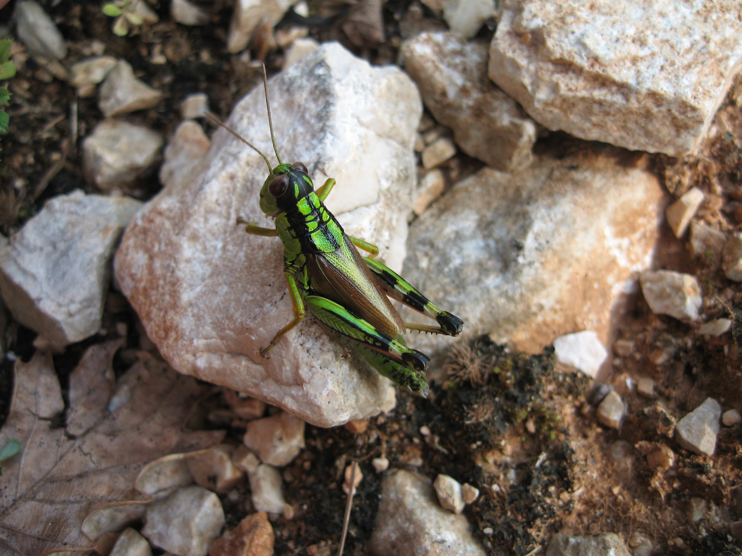 Image of Long-winged Mountain Grasshopper