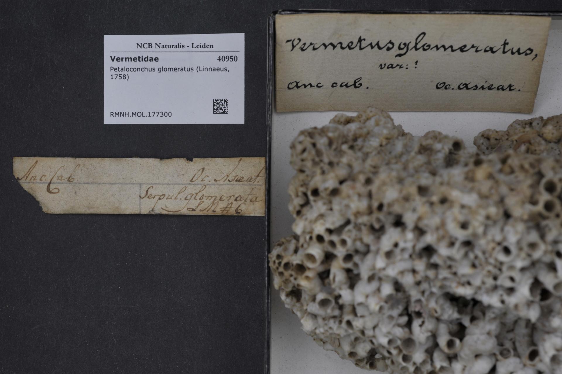Image of <i>Petaloconchus glomeratus</i> (Linnaeus 1758)