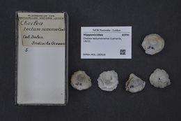 Image of <i>Cheilea tectumsinense</i> (Lamarck 1822)