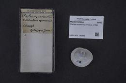 Image of <i>Cheilea equestris</i> (Linnaeus 1758)