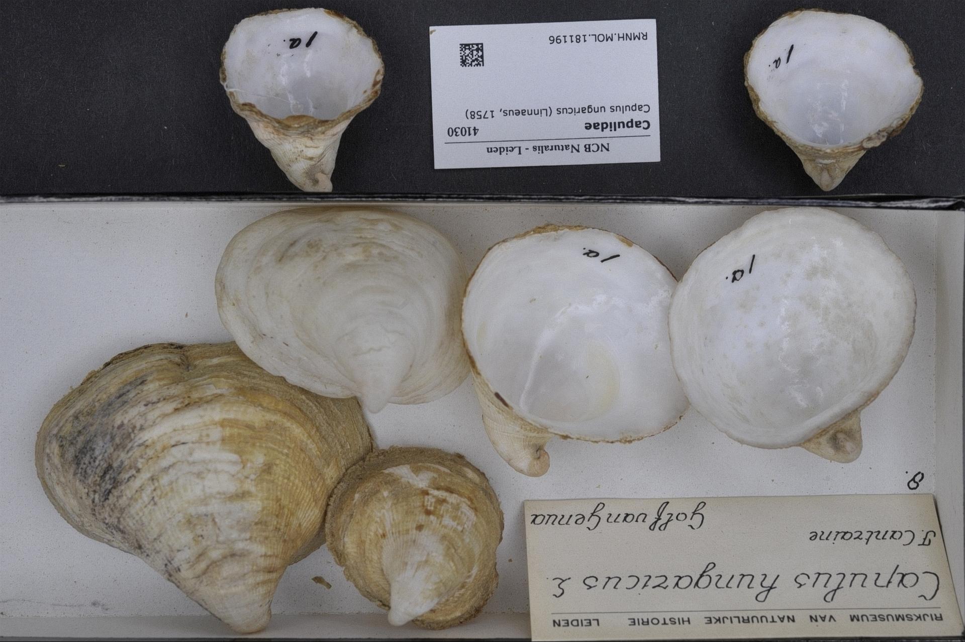 Image of Hungarian cap shell