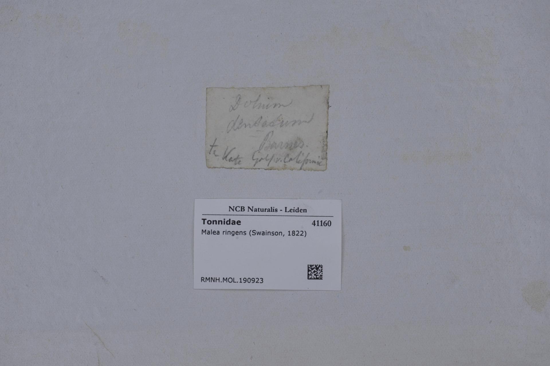 Image of <i>Malea ringens</i> (Swainson 1822)